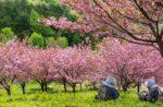 桜を見て休んでいるおばあちゃん
